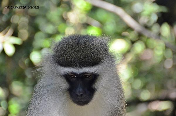 Vervet Monkey at Monkeyland Plattenberg Bay South Africa