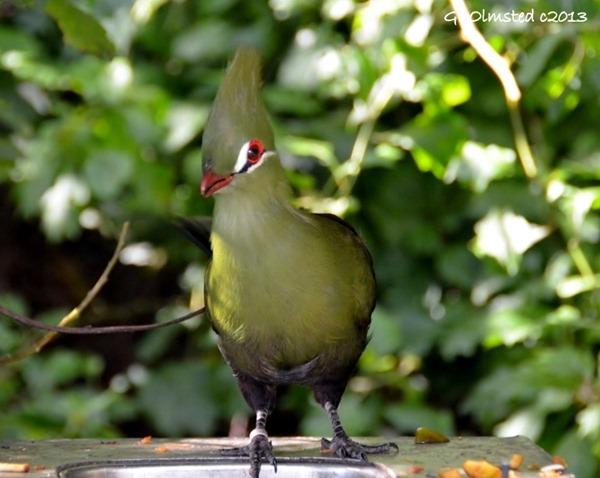 Knysna Loerie at Birds of Eden Plattenberg Bay South Africa