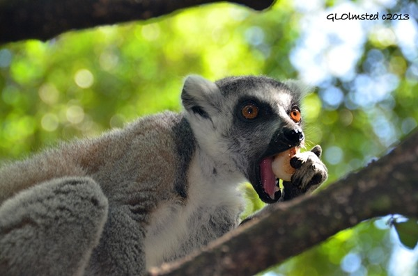 Ring-tailed Lemur at Monkeyland Plattenberg Bay South Africa
