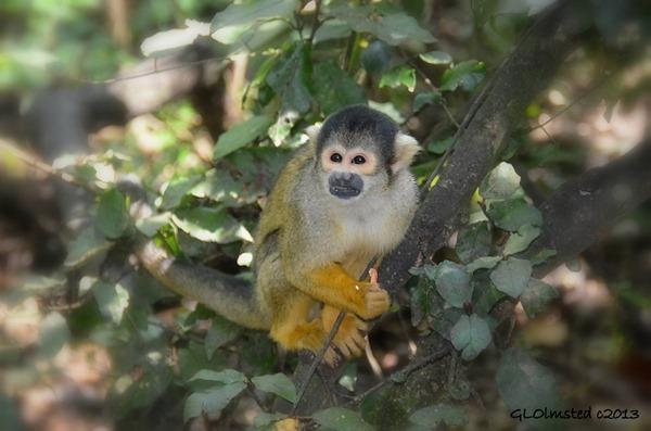 Bolivian Squirrel Monkey at Monkeyland Plattenberg Bay South Africa