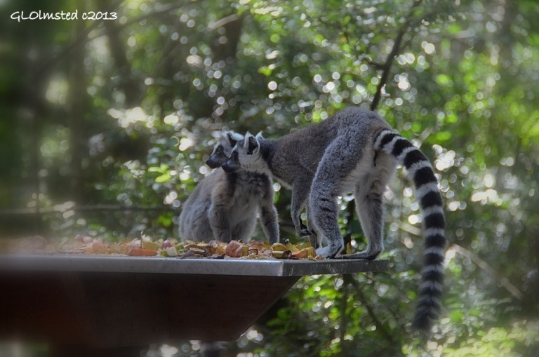 Ring-tailed Lemurs at Monkeyland Plattenberg Bay South Africa