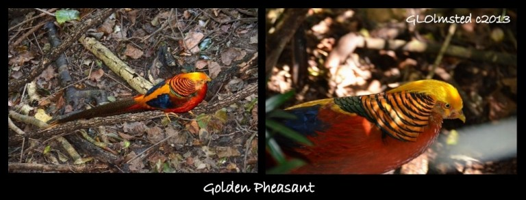 Golden Pheasant Birds of Eden Plattenberg South Africa