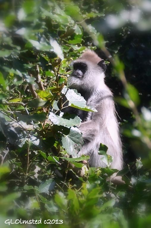 Unidentified Monkey at Monkeyland Plattenberg Bay South Africa