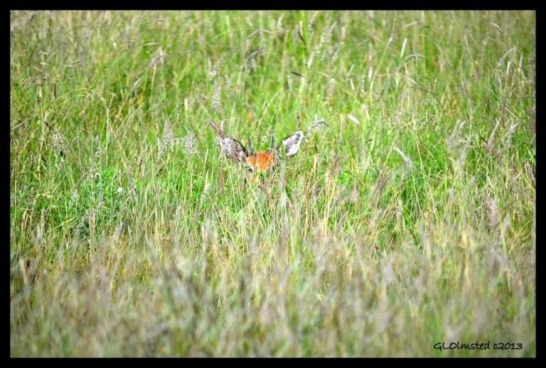 Steenbok Kruger National Park South Africa