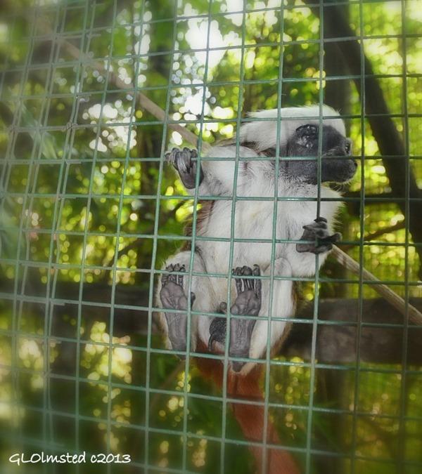 Cotton-top tamarin at Monkeyland Plattenberg Bay South Africa