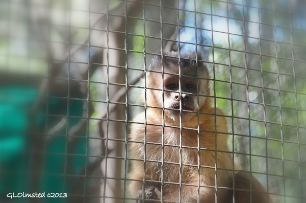 Capuchin at Monkeyland Plattenberg Bay South Africa