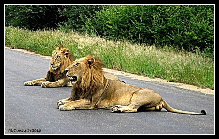 African lions Kruger National Park South Africa