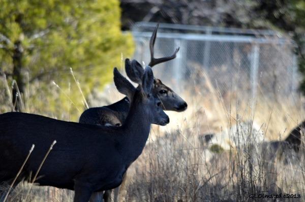 Mule deer Yarnell Arizona