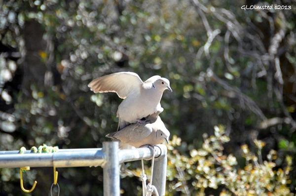 Mating doves Yarnell Arizona