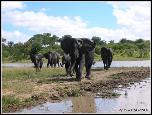 Elephants Kruger NP Mpumalanga South Africa
