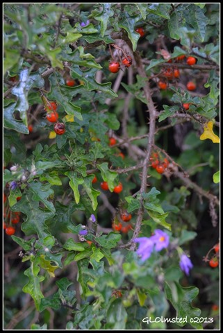 Wild tomato along Suspension Bridge trail at Storms River Mouth Tsitsikamma National Park South Africa