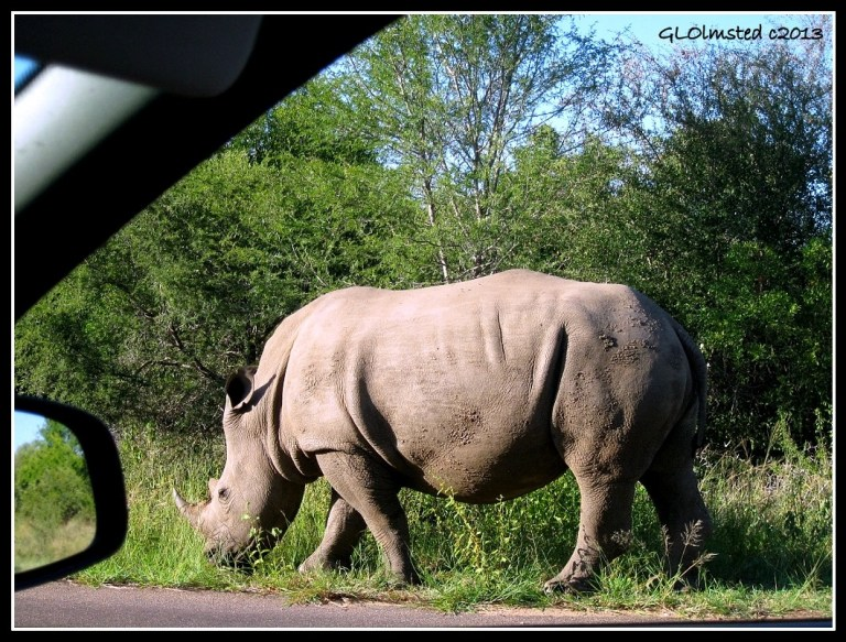 Rhino Kruger National Park Mpumalanga South Africa