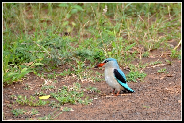 Woodland Kingfisher Kruger National Park South Africa