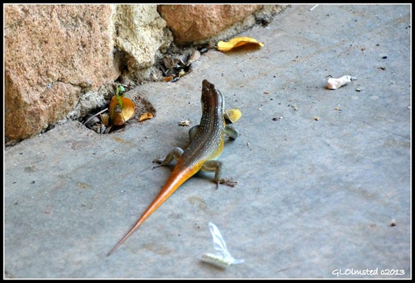 Rainbow skink Kruger National Park South Africa