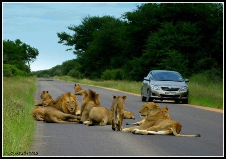 Lions Kruger National Park Mpumalanga South Africa