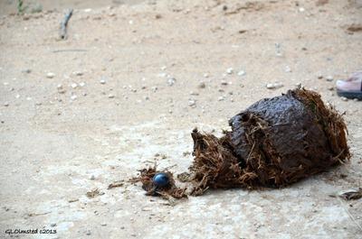 Flightless dung beetle Addo Elephant National Park South Africa