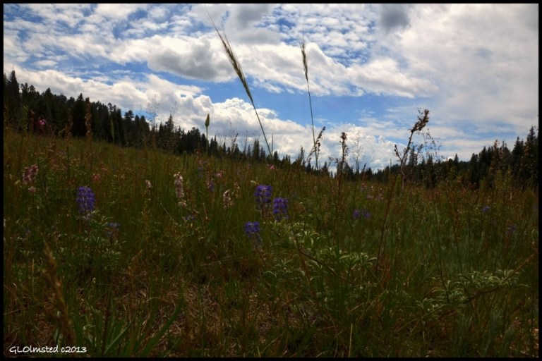 Wildflowers Big Basin Point Sublime Road North Rim Grand Canyon National Park Arizona