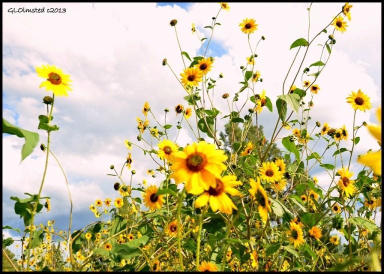 Sunflowers Coconino Natonal Forest Flagstaff Arizona