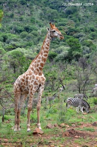 Giraffe & zebra Pilanesberg Game Reserve South Africa