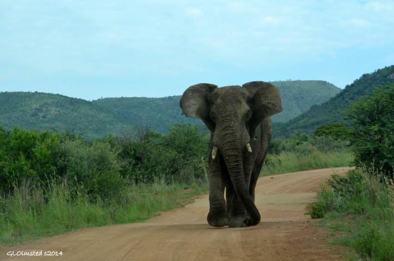 Elephant Pilanesberg Game Reserve South Africa