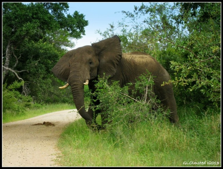 Elephant Kruger National Park Mpumalanga South Africa