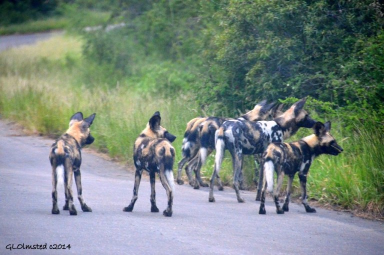 Wild dogs Kruger National Park South Africa