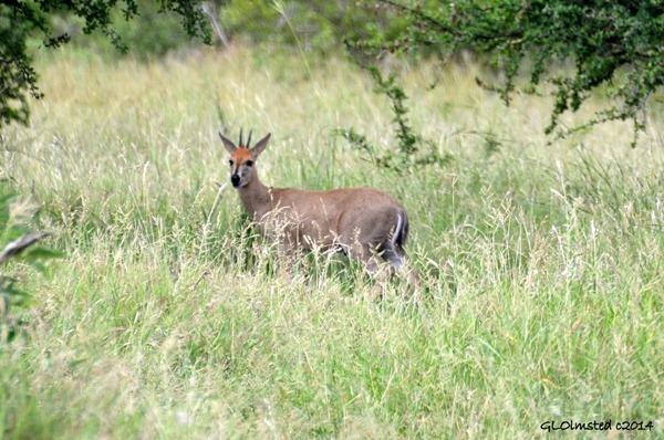 Steenbok Kruger National Park Sout Africa