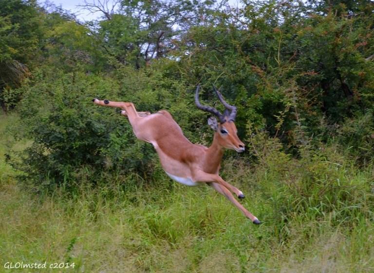 Impala jumping Kruger National Park South Africa