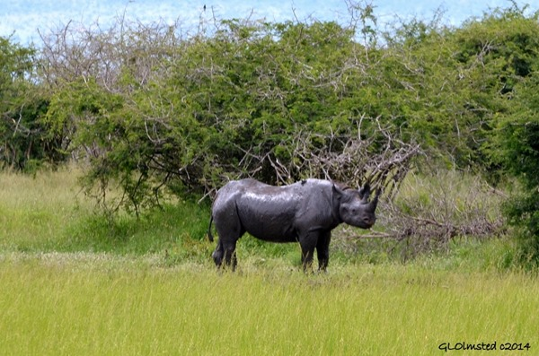 Black Rhino Kruger National Park South Africa