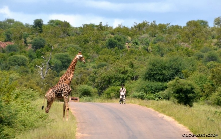 Giraffe & man on bike Kruger National Park South Africa