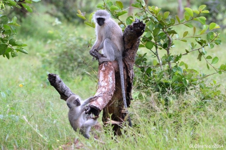 Vervet monkeys Kruger National Park South Africa