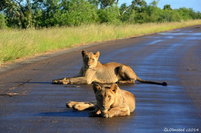 Two lions on road Kruger National Park South Africa
