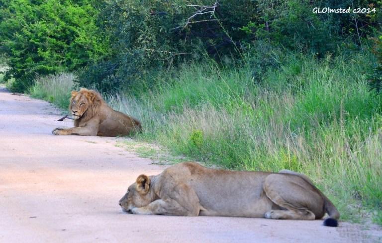 Lion pair on road Kruger National Park South Africa