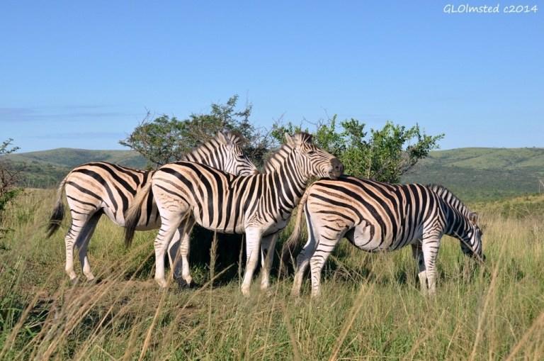 Zebras Hluhluwe iMfolozi National Park South Africa