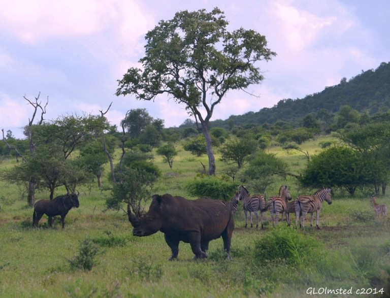 Blue wildebeest, white rhino & zebra Kruger National Park South Africa