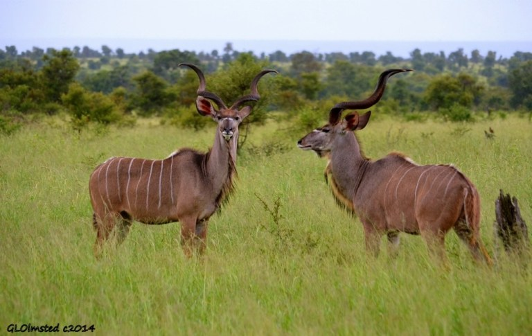 Kudu males Kruger National Park South Africa