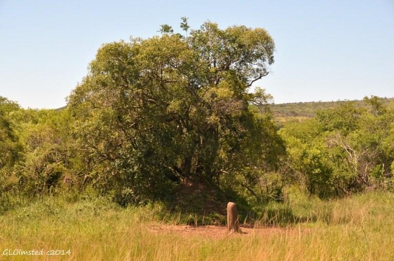 Termite mound from Thiyeni bird hide Hluhluwe iMfolozi National Park South Africa