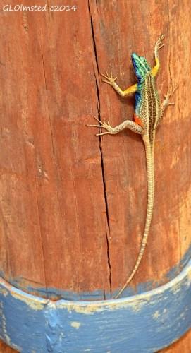 Augrabies flat lizard Augrabies Falls National Park South Africa