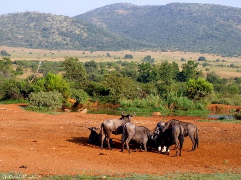 Wildebeest at salt lick Pilanesberg Game Reserve South Africa