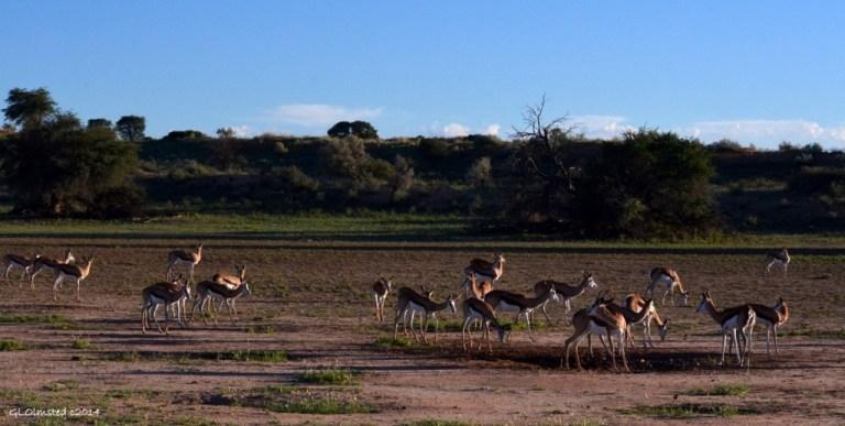 Springbok Kgalagadi National Park South Africa