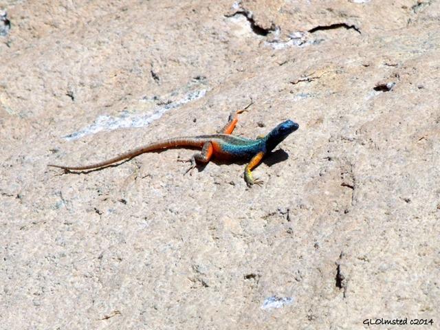 02a DSCF9315 Augrabies flat lizard Augrabies Falls NP SA g (1024x768)