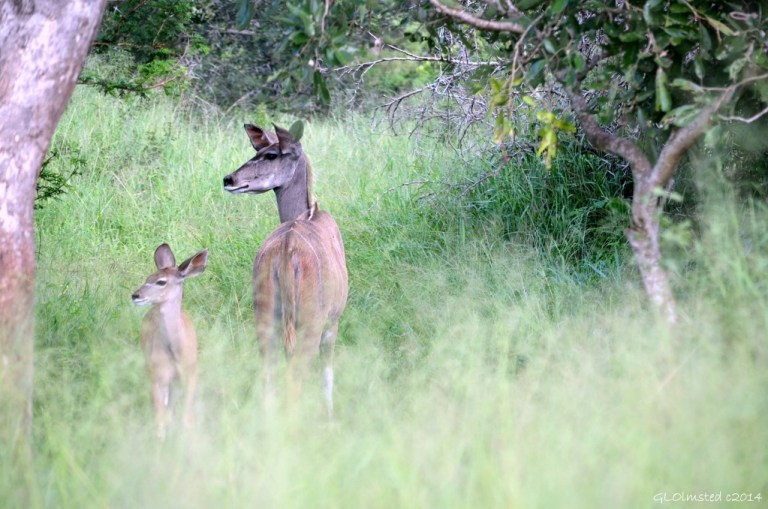 Kudus Kruger National Park South Africa