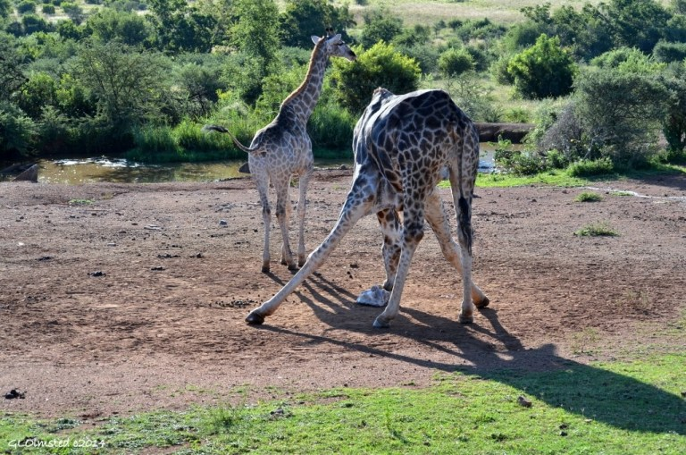 Giraffes at salt lick Pilanesberg Game Reserve South Africa
