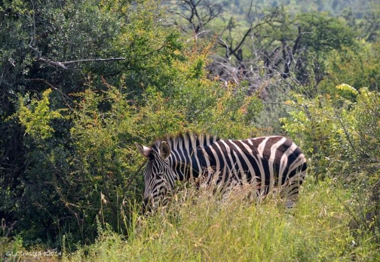 Zebra Pilanesburg Game Reserve South Africa