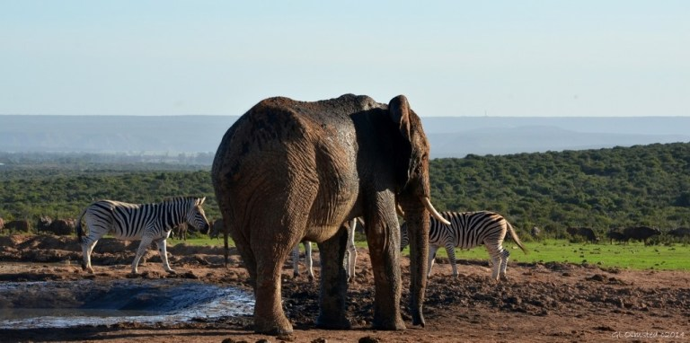 07 DSC_7606 Buffalos, zebras & elephant by waterhole Addo Elephant NP SA fff62 (1024x509)