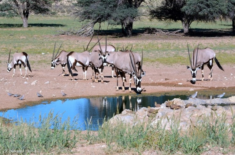 Gemsboks by waterhole Kgalagadi Transfrontier Park South Africa