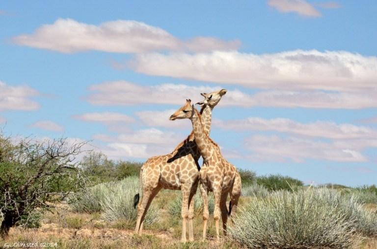 17 DSC_9556 Giraffes necking Augrabies Falls NP SA g (1024x678)