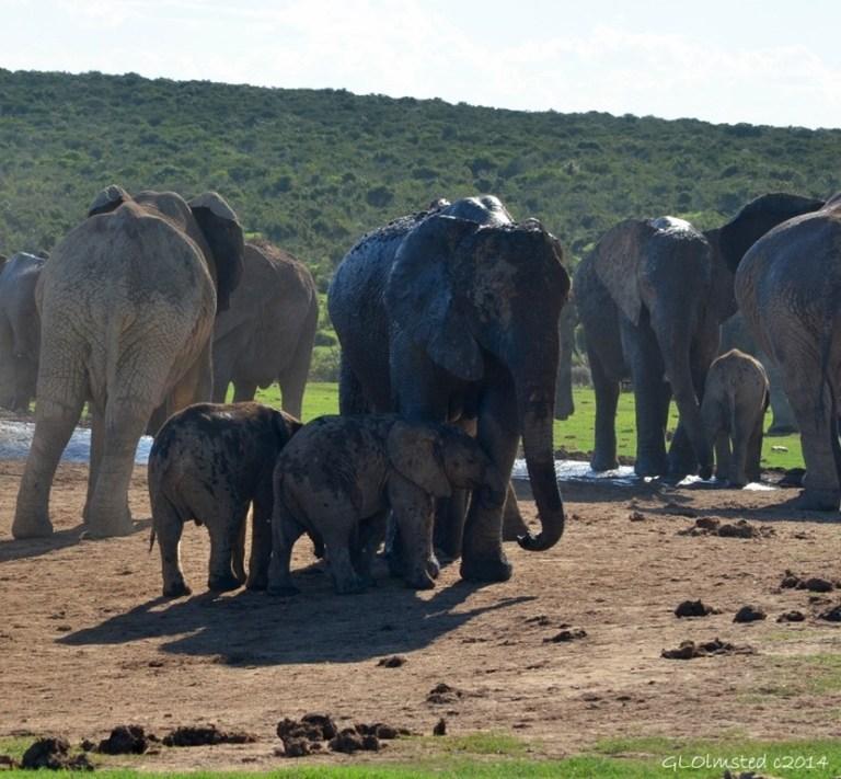 02 DSC_7574 Elephants at the waterhole Addo Elephant NP SA fff68 (1024x948)