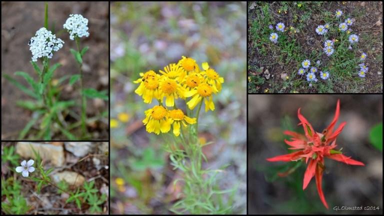 05 Wildflowers AZ Trail NR GRCA NP AZ (1024x576)