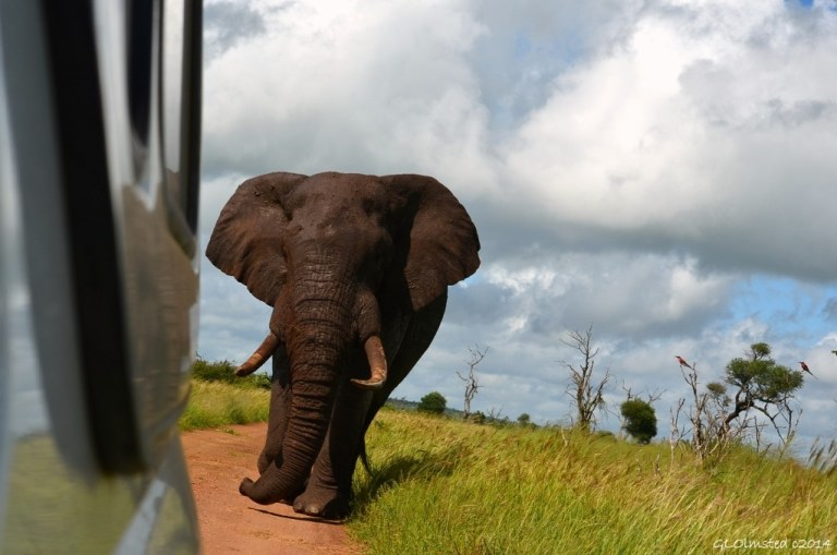 Elephant following truck Kruger National Park South Africa
